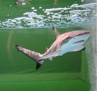 film_shark